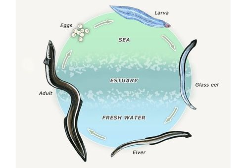 INFO SHEET: The New Zealand longfin eel
