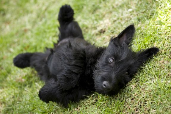 scotties puppies pictures | What's My Dog Telling Me? | Reading Your Dog's Body Language ...