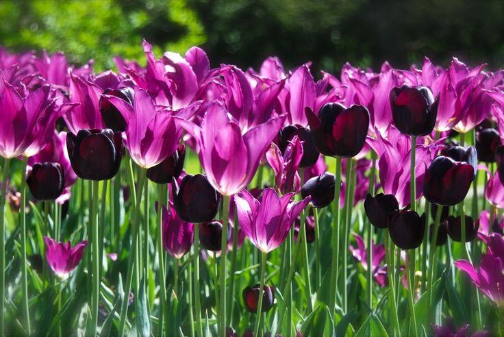 Tulip Combination:  Purple Dream'