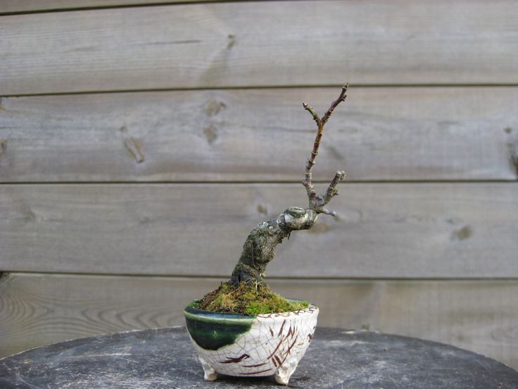 3 - Prunus (01/2016)