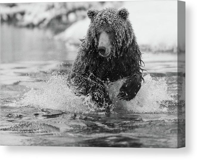 Grizzly Bear Chasing Salmon Grizzly Bear Grizzly Bear