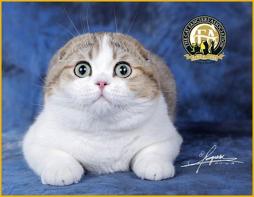 GC, NW Caihongcheng's King, Shaded Golden & White Male Shorthair Scottish Fold - 25th Best Kitten in China