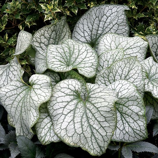 The largest brunnera we've ever seen, 'Alexander's Great' has gigantic leaves that form an impressive mound of outstanding silver-and-green leaves. Plus, in the spring it develops spikes of lovely sky blue blooms that hover over the silver leaves. It prefers rich, slightly moist soil, so be sure to mulch it to keep it happy during times of drought. 'Alexander's Great' also is deer-resistant. Shade, Partial Shade 12–15 inches tall, 24–28 inches wide Zones: 4–8 Source: Terra Nova