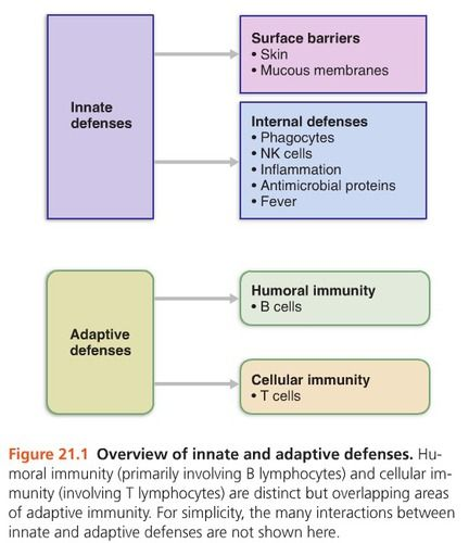 Innate & adaptive systems work hand in hand. Humoral immunity (primarily involving B lymphocytes) & cellular immunity (involving T lymphocytes) are distinct but overlapping areas of adaptive immunity. Many interactions between innate and adaptive defenses are NOT shown here.