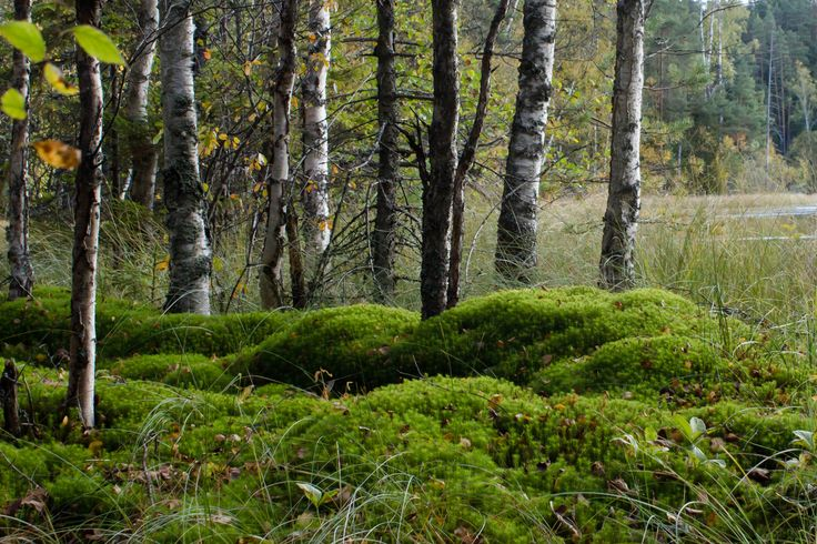 Birches and moss in #Nuuksio National Park (Espoo, Finland) #Noux