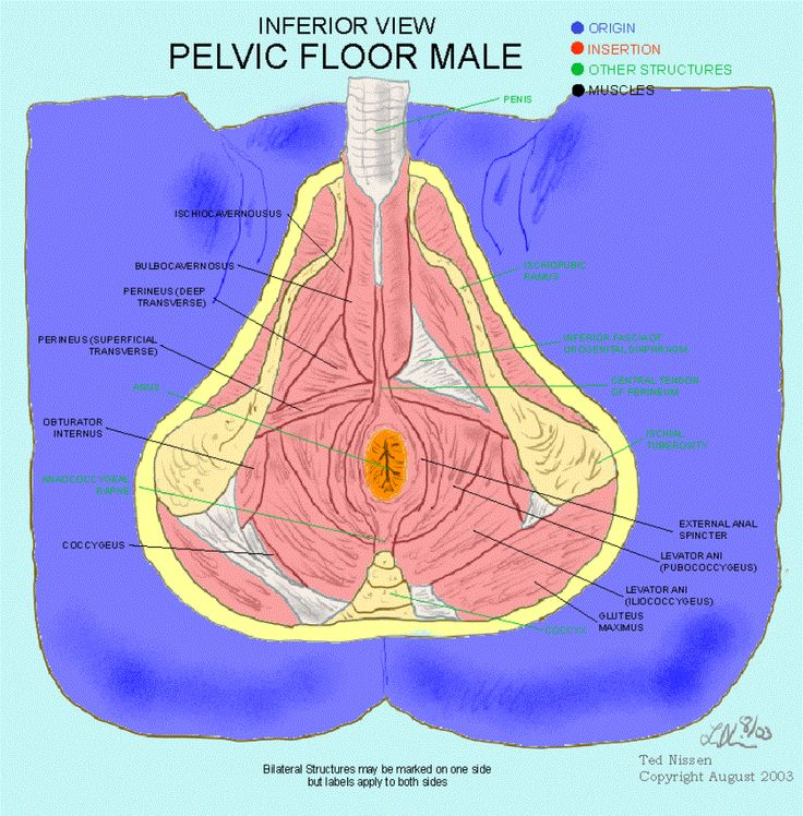 Pelvic Floor Muscles Male Pelvic Floor Muscles Anatomy