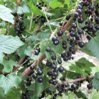Blackcurrant fruit leather