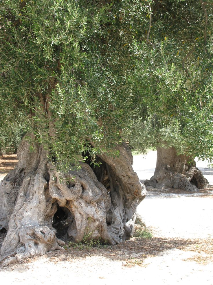500 year old olive tree, Masseria San Domenico Puglia 2010 ©mirellazolli