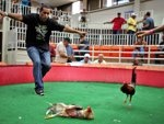 Puerto Rico -- Cockfighting is LEGAL and has Government-sponsored cockfighting clubs. The island territory's government is battling to keep the blood sport alive, as many matches go underground to avoid fees and admission charges levied by official clubs.