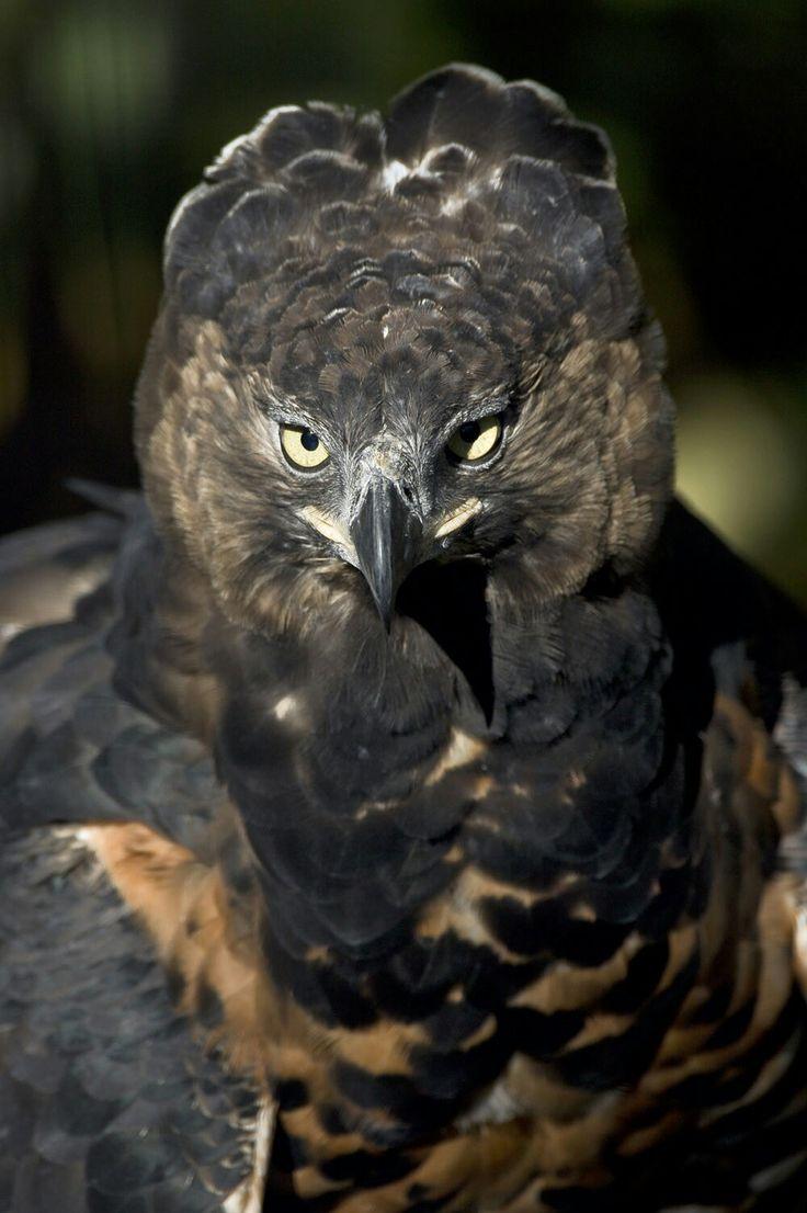 African Crowned Eagle | An African Crowned Eagle, seen in ...  |African Crowned Eagle Falconry
