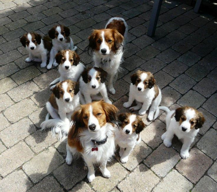 Can I have a Kooikerhondje too?