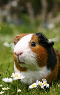 5 Pets That Are Easy to Take Care Off Guinea pigs Read