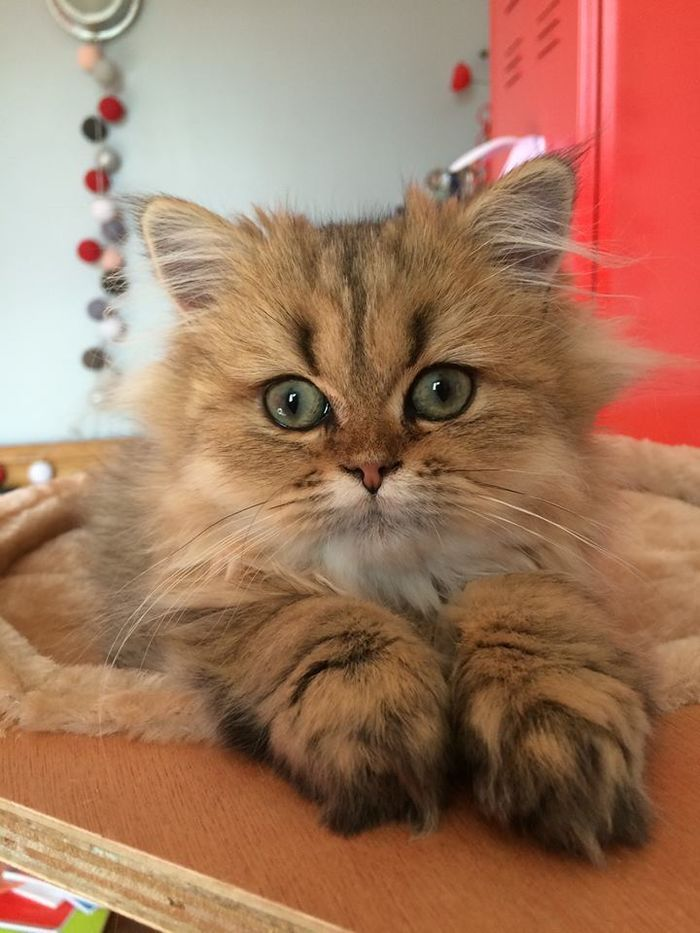 snowshoe cat grumpy