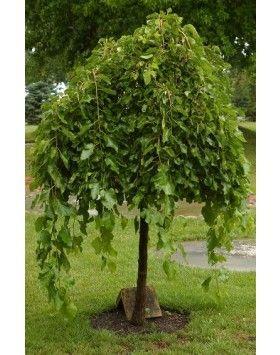 Morus alba 'Pendula' - Csüngő fehér eperfa