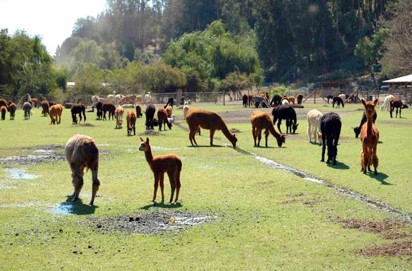 Alpacas machalí - Rancagua - O´Higgins - Chile #places