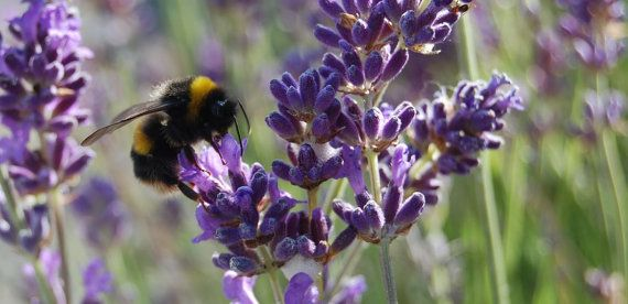 Lavender, Munstead Lavender Seeds - Beautiful, Compact, Easy to Grow, Highly Fragrant, Excellent Shrub, Bee Magnet