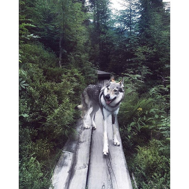 No one ever said leaving this place would be easy.. And I still think of its magical forests every night.  Wolfdog Maya, Krkonose 2016