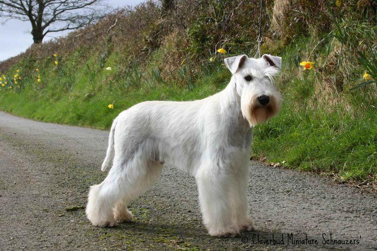 White Schnauzer Stud Dogs, Black Silver stud dog -Cloverbd Miniature Scnauzers -