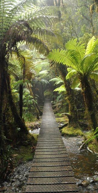 Pretty trail among the fern trees - NZ www.facebook.com/loveswish. Such a beautiful hike.