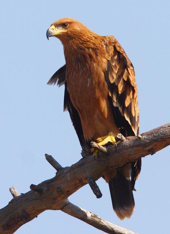 Spanish Imperial Eagle ( Aquila Adalberti) Juvenile.