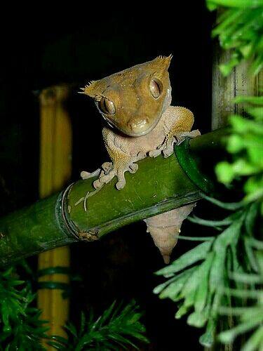 Rhacodactylus   Rhacodactylus ciliatus(New Caledonia Crested Gecko)