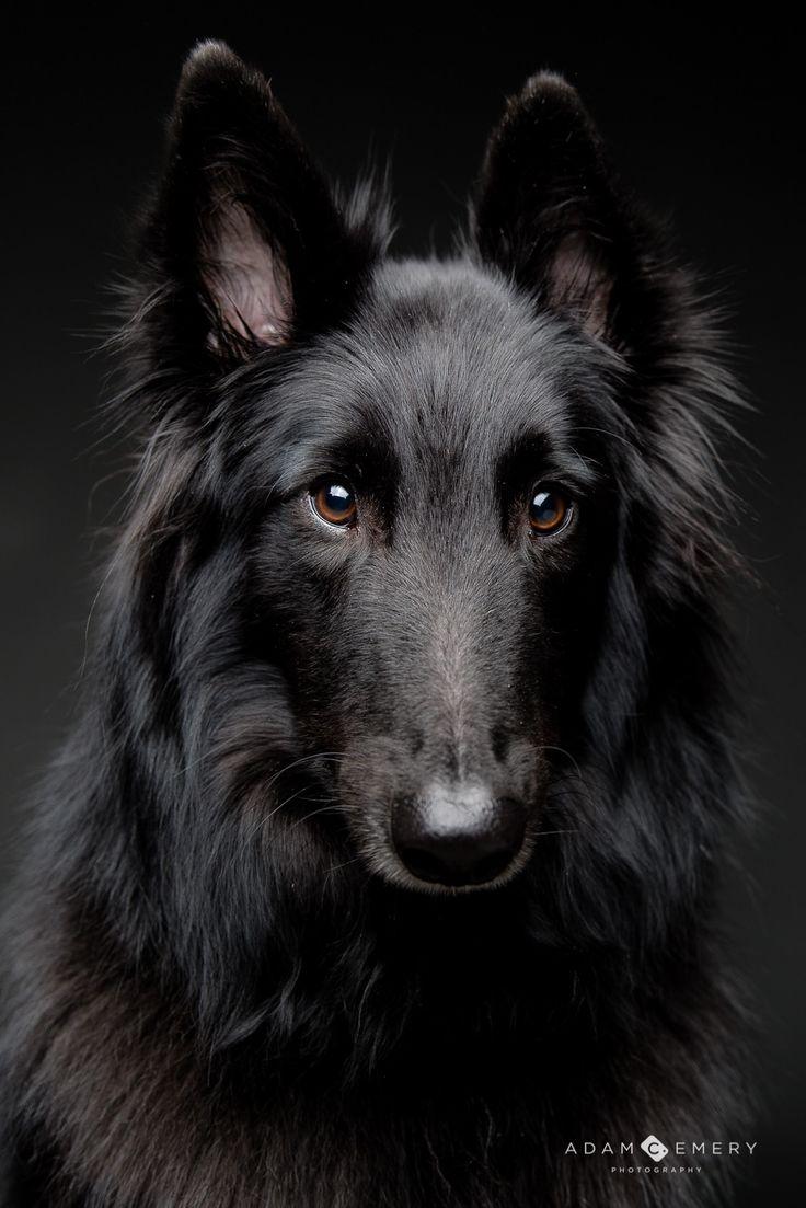 Dog That Looks Like A Black Sheepdog