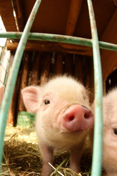 In what ways did the pigs in Animal Farm change during the course of the story?