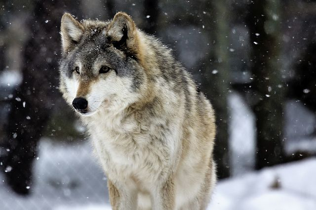 It was cold and snowy ant the wolves were restless... (Timber wolf by markalt)