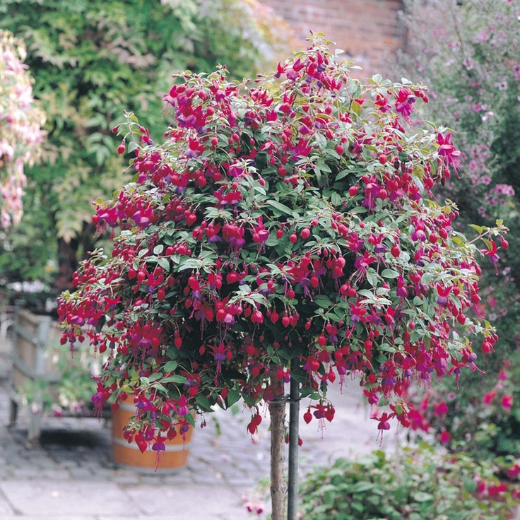 Fuchsia Tree I Sold One In All Cherry Red Yesterday And I