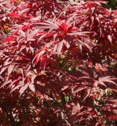 les 25 meilleures id es concernant acer palmatum sur pinterest arbres d 39 am nagement paysager. Black Bedroom Furniture Sets. Home Design Ideas