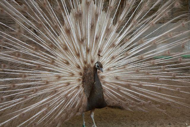 Jepo Påfugle - Peafowl, Pauw, Pfauen, Pavone, Pavo Real, Påfågel, Peacock, Påfugl, Pauwen, Pavoni, Paons