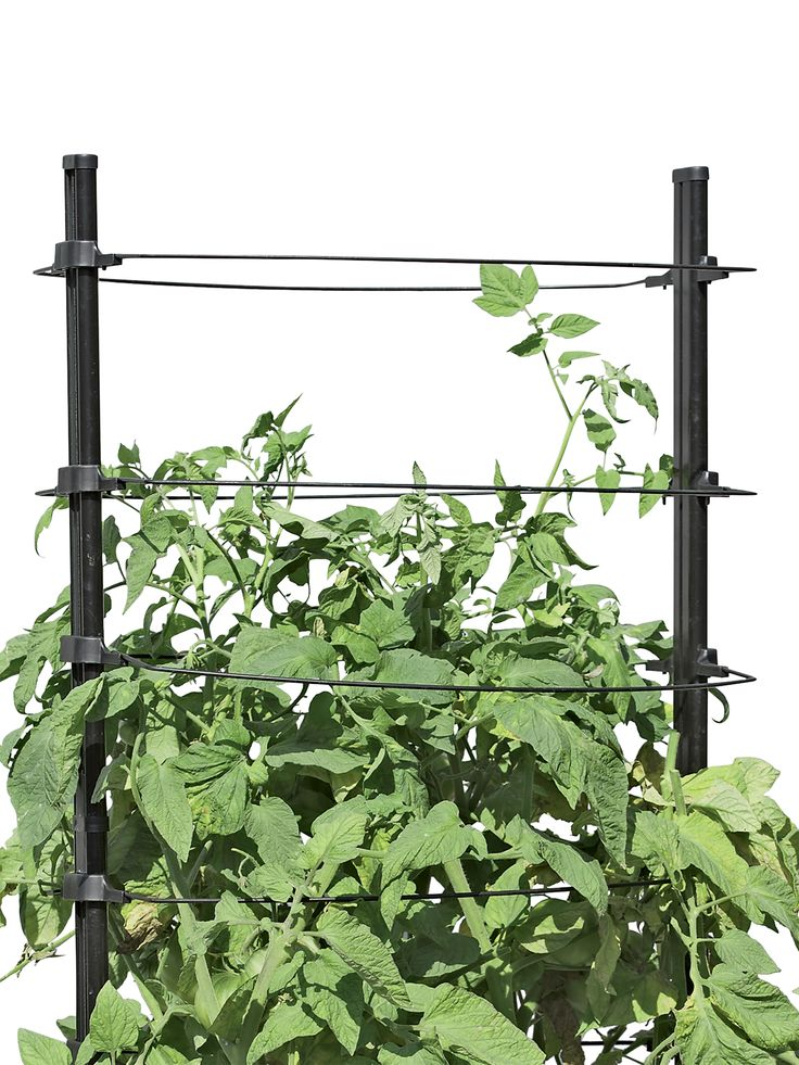 How Plants Climb Climbing Plants Vines Tomato Garden 400 x 300