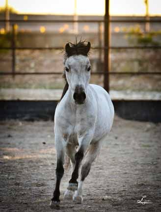 Rivenburghs Platinum SE. Lovely smoky mini driving mare. miniature horses for sale in arizona; miniature horses for sale in arizona, minis for sale in az, mini ponies for sale, miniature horses driving carts, miniature horse colt for sale in arizona, labrador retrievers for sale in arizona, retrievers for sale,