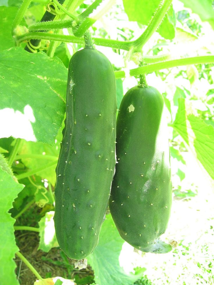 Tips For Growing Cucumbers Gardens Pickling And Vegetables