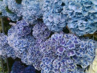 How to care for cut hydrangeas.