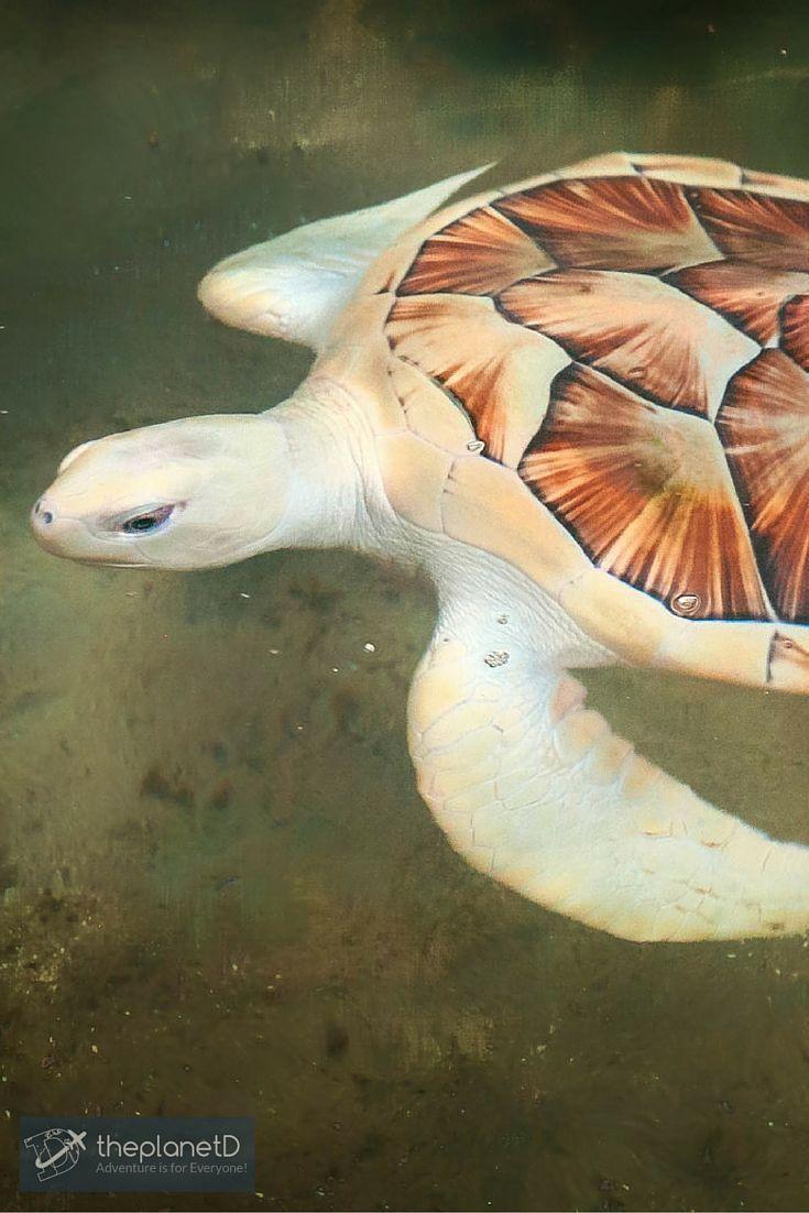 A rare Albino turtle at the Kosgoda Turtle Hatchery, Sri Lanka >> Discover the beauty of Sri Lanka with these Photos