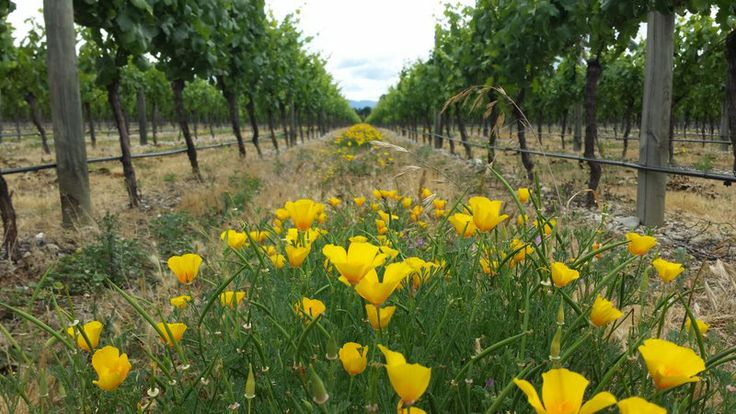 Buttercups at Amisfield Winery & Vineyard, Pisa, Central Otago NZ