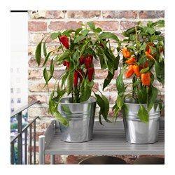 CAPSICUM ANNUUM Pianta da vaso, peperone specie varie - IKEA
