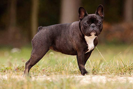Französische Bulldogge Standard