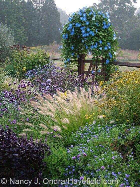 Side garden in fall with Symphyotrichum oblongifolium, Basil 'Osmin', Pennisetum alopecuroides, Solidago rugosa 'Fireworks', Verbena bonarie...