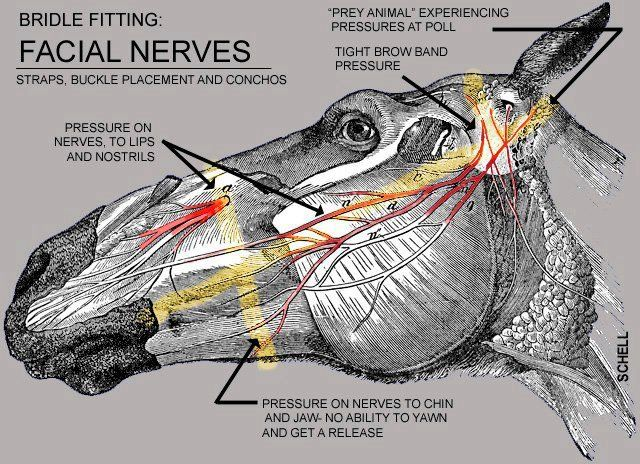 This is a very interesting illustration. Gives you something to think about the next time you put a bridle, halter, hackamore or anything else on your horse's face.