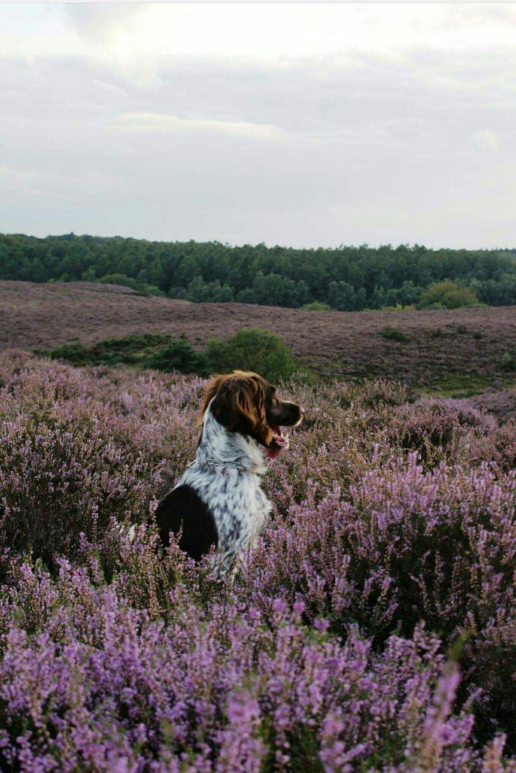 Mila at National Park Veluwezoom #Munsterlander
