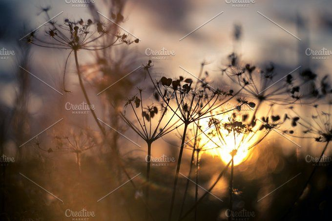 Evening picture of cow parsnip grass silhouette on sunset blurred field  by Northern Life on @creativemarket