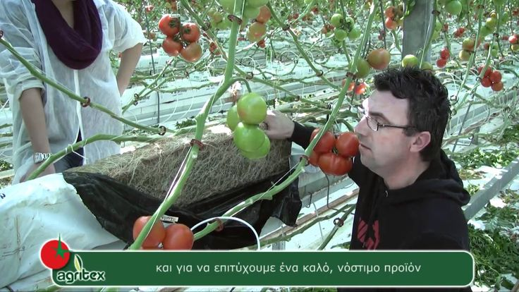 The way of producing Lucia tomato