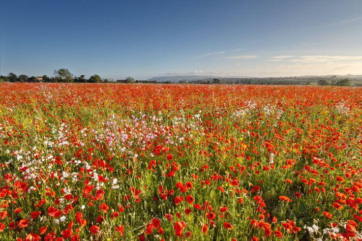 Poppy Meadow, Sandown, Isle of Wight