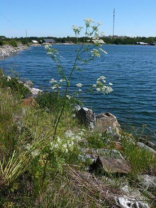 Gefleckter Schierling, Conium maculatum - Blütenpflanzen - NatureGate