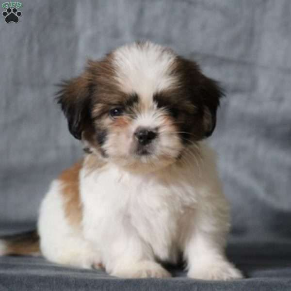 Gus Shih Tzu Puppy For Sale In Virginia Shih Tzu Puppy Shih Tzu Puppies