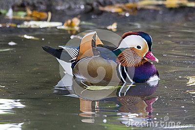 Mandarin duck - Anatra mandarina -  Aix galericulata