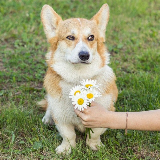 Corgi is suspicious of your motives!!