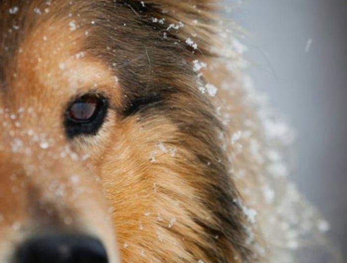 3-quel-chien-choisir-comment-choisir-son-chien-race-de-chien-taille-moyen-Sheltie